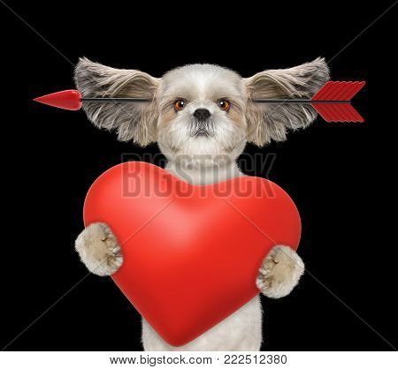Cute shitzu dog is falling in love on valentines day. Isolated on black background