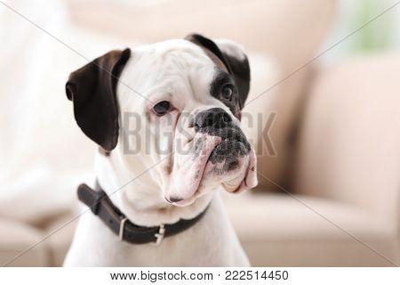 Cute white Boxer dog on blurred background. Pet adoption