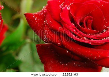 Red Rose Macro