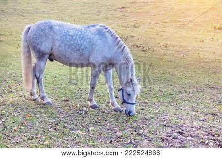 Dapple gray horse grazing in autumn pasture. Sunny day. Close up