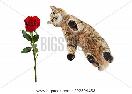 Cat Scottish Straight looking at a red rose, view from below, isolated on a white background