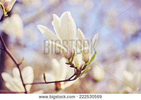 Close-up view of purple blooming magnolia. Beautiful spring bloom for magnolia tulip trees pink flowers.