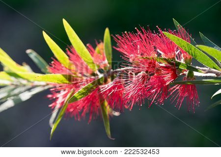 Red Bottlebrush Flower - Callistemon Citrinus. Crimson bottlebrush flower, in the dark background