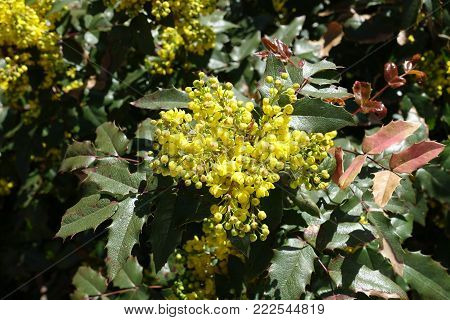 Leathery leaves and yellow flowers of Oregon grape