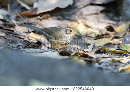 Puff-throated babbler or spotted babbler perching on the ground , Thailand