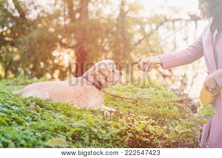 Asian woman training her dog in park. American cocker spaniel lies. Woman feeds her dog.