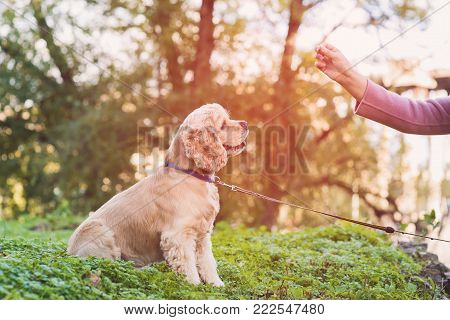 Asian woman training her dog in park. American cocker spaniel dog is sitting and looking at the girl's hand. Woman feeds her dog.