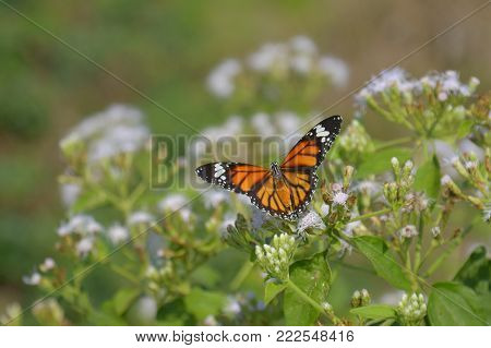 Beautiful Butterfly (common Tiger) On White Flowers (siam Weed).