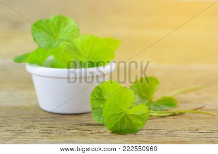 Natural Gotu-Kola leaves in white pot with warm light tone.