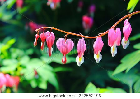 Red heart flower. Spring flowers. Pink flowers hearts dicentra in summer. Flowers in shape of heart. Little pink hearts on the branches. Flowers on Valentine's day. The bleeding heart is gorgeous on the sun. Flowers macro