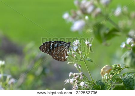 Beautiful Butterfly (plain Tiger) On White Flowers (siam Weed).