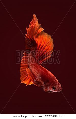 Close up art movement of Betta fish,Siamese fighting fish background.Fine art design concept.