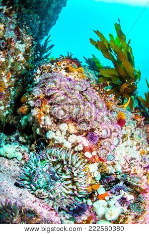 An aggregation of green sea anemones with purple tentacles on a colorful reef in southern California