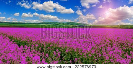 pink purple field, imagination. fantastic landscape, clouds on the sky over the meadow with pink flowers. wonderful summer day. use as background. serie creative images. color in nature.