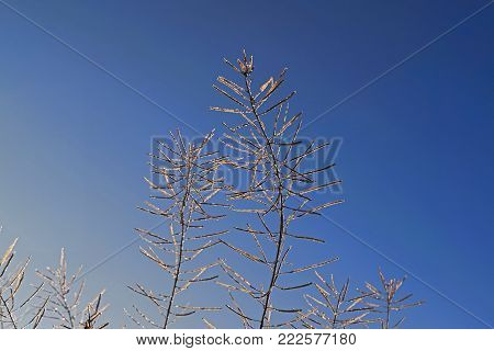 Stems covered with hoarfrost on a background of blue winter sky close-up