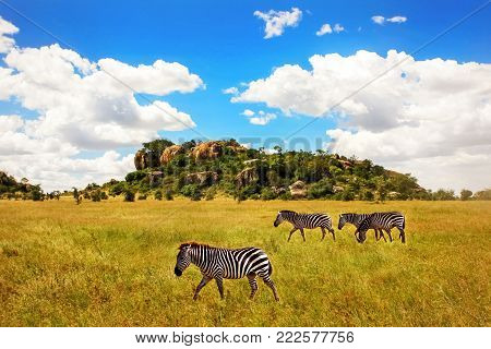 Group of zebras in the Serengeti National Park against a background of rocks and a blue sky with clouds. Africa. Tanzania.