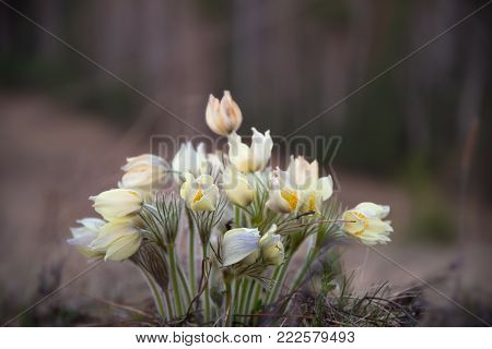 flower pulsatilla patens at the spring meadow