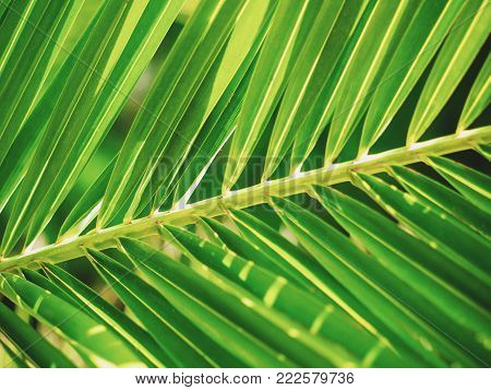 Background with green leaf of a date palm.
