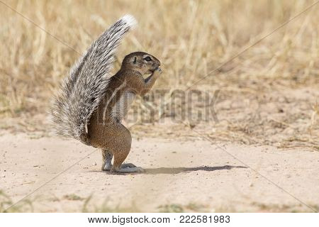 One Ground Squirrel using its tail as a shield in the hot Kalahari sun