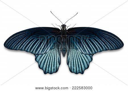 Female Great Mormon (papilio Memnon) Butterfly