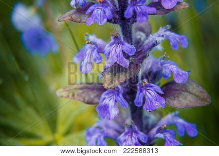 Fresh violet spring flowers salvia with drops of dew with green background. small depth of field . used as background. creative image of nature. fabulous view. macro. Clary Sage Salvia sclarea