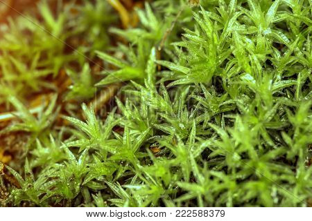 nature texture of moss with dew. Common Hair Cap Moss - Star Moss. nature background. macro. small depth of field