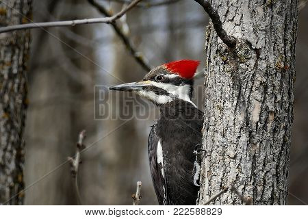 Female pileated woodpecker Dryocopus pileatus perched on tree trunk - closeup image