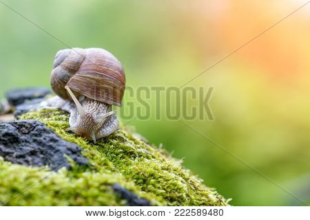 Burgundy snail Helix, Roman snail, edible snail, escargot on the surface of old stump with moss in a natural environment. Green moss and mold growing on the old tree trunk. macro. close-up images of nature