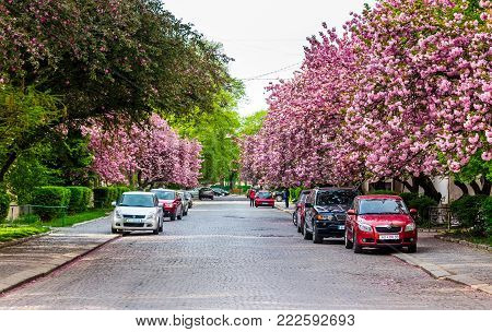 Uzhgorod, Ukraine - April 26, 2015: streets of Uzhgorod in cherry blossom. beautiful springtime background on sunny morning