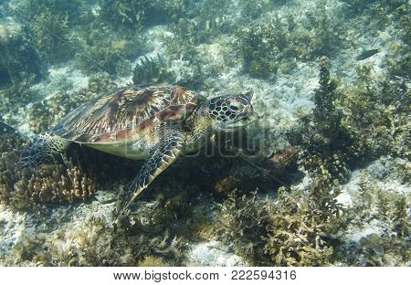 Sea turtle in tropical seashore closeup. Marine tortoise underwater photo. Green turtle in natural environment. Green turtle swims underwater. Coral reef inhabitant. Marine animal of tropical seashore