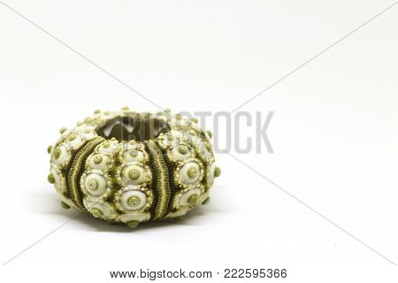 Sea shell macro photo on white background. Seashore finding studio photo. Summer travel banner template. Exotic sea mollusk. Aquarium decor isolated. Green urchin shell macrophoto. Marine decoration