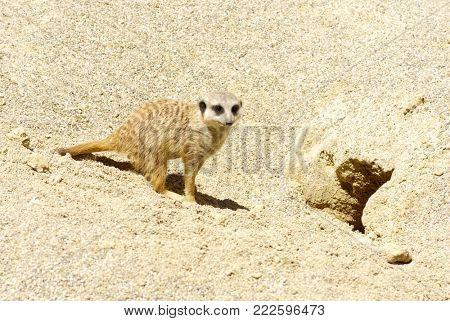 Meercat on the sand .