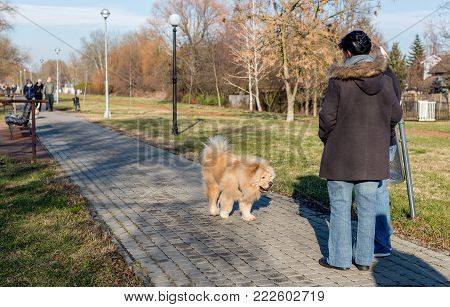 Old friendly chow chow dog are walking in the park and gets acquainted with people