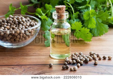 A bottle of coriander essential oil with coriander seeds and green cilantro leaves in the background