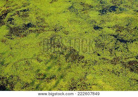 pond covered with algae texture, generic vegetation