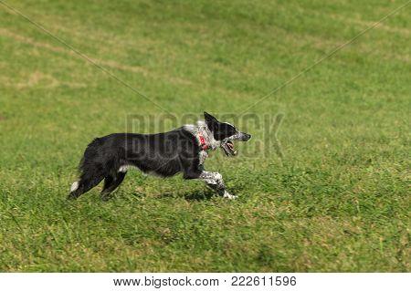 Sheep Dog Runs Right Mouth Open - at sheep dog herding trials