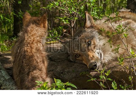 Grey Wolf Pup (Canis lupus) and Adult - captive animals