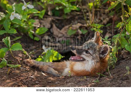 Grey Fox Vixen (Urocyon cinereoargenteus) With Mosquito on Nose - captive animal