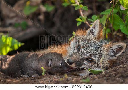 Grey Fox (Urocyon cinereoargenteus) Vixen With Kit at Mouth - captive animals