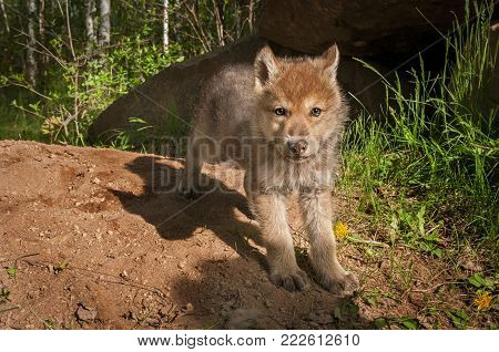 Grey Wolf (Canis lupus) Pup Looks Out - captive animal