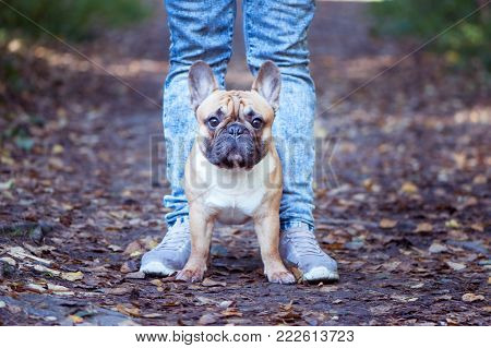 French bulldog walks in the autumn park with the owner