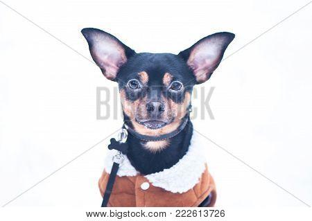 A dog, a toy terrier, a stylishly dressed little dog in sheepskin coat, against the backdrop of winter. Clothes for dogs. Place for text