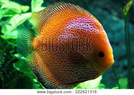 Discus fish swimming in the Karlsurhe zoo, Germany