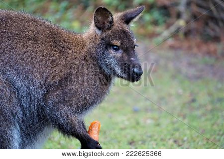 A cute red-necked wallaby eating a carrot