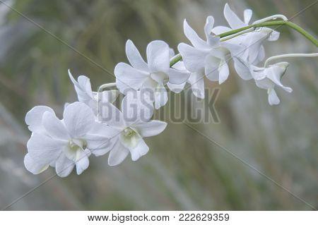 white orchid. hybrid Memoria Princess Diana