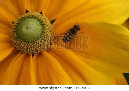 Yellow, Flower, Insect