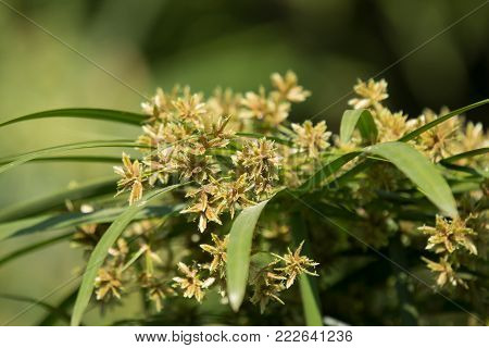 Small Brown Papyrus Tree Flower .