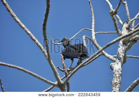 Black vulture. Eating carrion black bird with a sense of smell and a head without feathers