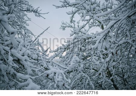 Season greetings and holidays celebration. Christmas, xmas, new year. Snow on tree branches on blue sky background. Winter nature concept. Temperature, freezing, cold snap, snowfall.