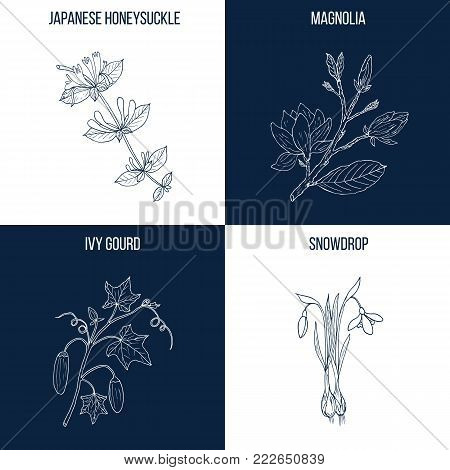 Vector collection of four hand drawn medicinal and eatable plants, japanese honeysuckle, magnolia, ivy gourd, snowdrop